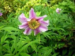 Fotos Paeonia veitchii var. woodwardii