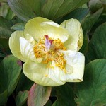 Photos Paeonia mlokosewitschii