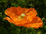 Photos Papaver lateritium
