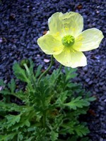 Photos Papaver fauriei