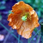 Fotos Papaver croceum