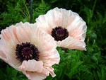 Photos Papaver orientale