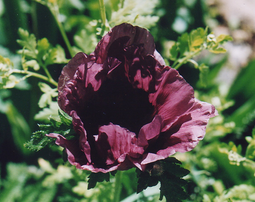 Photos Papaver orientale - Oriental poppy