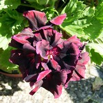 Pelargonium grandiflorum - Edelpelargonie Dark Lady