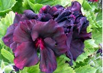 Pelargonium grandiflorum - Edelpelargonie Lord Bute