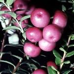 Gaultheria mucronata - Torfmyrte