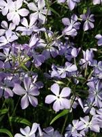 Photos Phlox divaricata ssp. laphamii