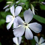 Photos Phlox divaricata