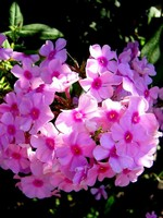 Photos Phlox maculata
