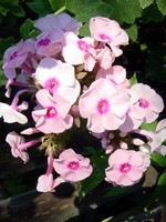 Phlox paniculata - Hohe Beet-Flammenblume Mother of Pearls