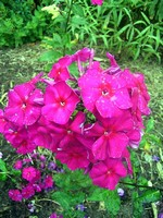 Photos Phlox paniculata