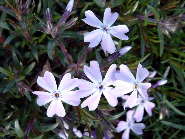 Photos Phlox subulata - Moss phlox