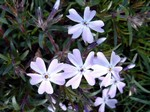 Photos Phlox subulata