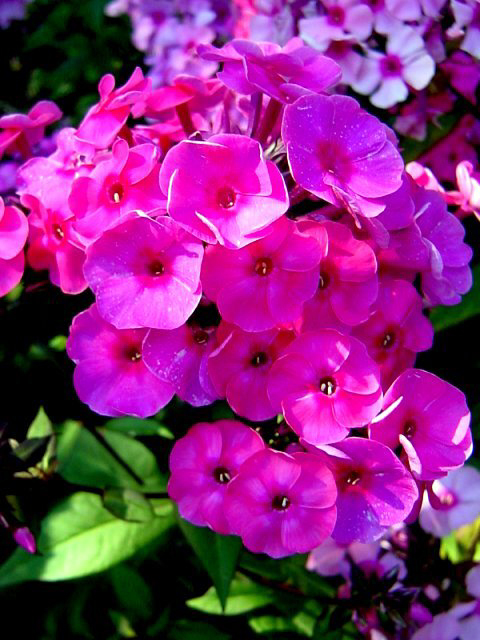 Photos Phlox paniculata - Fall phlox