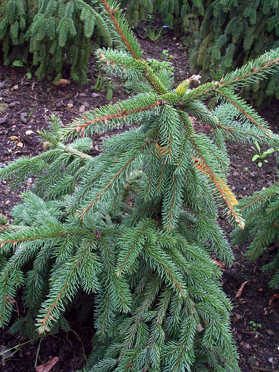 Plants picea abies norway spruce