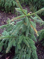 Photos Picea abies