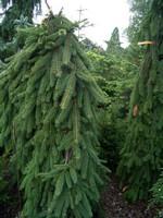 Fotos Picea abies