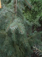 Photos Picea breweriana