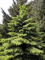 Photos Picea glauca