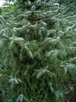 Photos Picea omorika
