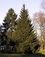 Photos Picea orientalis