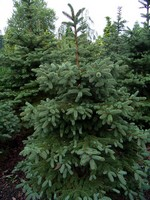 Photos Picea pungens