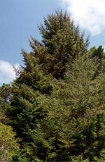 Photos Picea sitchensis