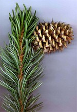 Photos Pinus aristata