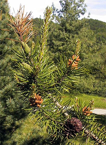 Photos Pinus banksiana - Jack pine