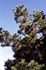 Photos Pinus cembra