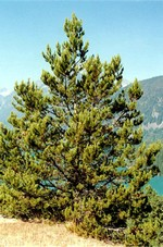 Photos Pinus contorta var. latifolia