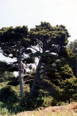 Photos Pinus contorta