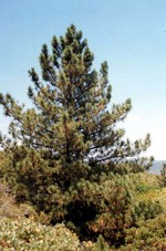 Photos Pinus coulteri