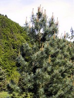 Photos Pinus koraiensis