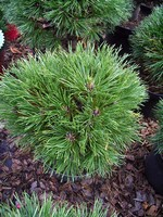 Photos Pinus mugo