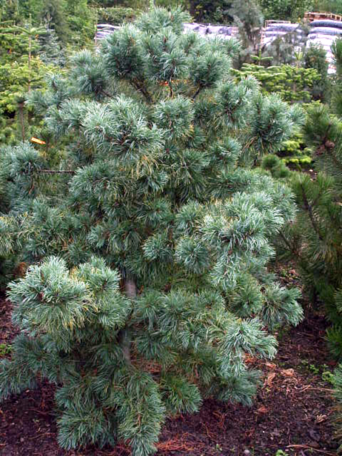 Photos Pinus parviflora - Five-needle pine