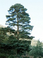 Photos Pinus sylvestris