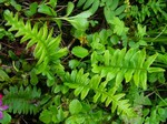 Polypodium cambricum - T�pfelfarn, Engels��