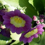 Fotos Primula auricula
