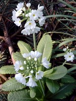 Fotos Primula denticulata