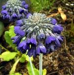 Fotos Primula farinosa