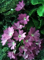 Fotos Primula hirsuta