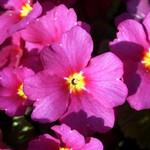 Fotos Primula juliae