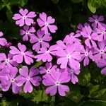 Fotos Primula sieboldii