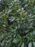 Photos Prunus laurocerasus