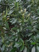 Foto Prunus laurocerasus