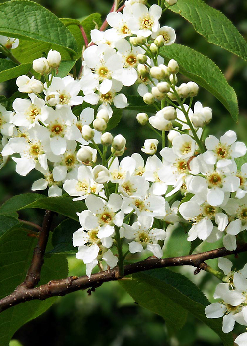 Photos Prunus padus - European bird cherry