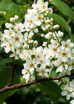 Photos Prunus padus