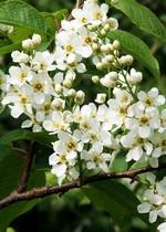 Foto Prunus padus