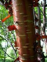 Foto Prunus serrula